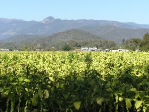 One of the last tobacco crops in Myrtleford, 2005. Source: Wikimedia Commons.